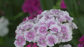 Flower carnation Turkish Dianthus barbatus. stock footage