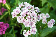 Flower carnation Turkish (Dianthus barbatus). Royalty Free Stock Images
