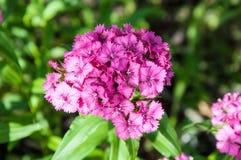 Flower carnation Turkish (Dianthus barbatus). Stock Photo