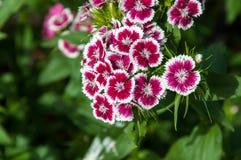 Flower carnation Turkish (Dianthus barbatus). Stock Images