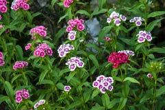 Flower carnation Turkish (Dianthus barbatus). Stock Image