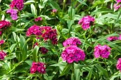 Flower carnation Turkish (Dianthus barbatus). Royalty Free Stock Photo
