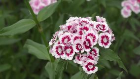 Flower carnation Turkish (Dianthus barbatus). stock video