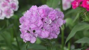 Flower carnation Turkish (Dianthus barbatus). Flower carnation Turkish (Dianthus barbatus) blossoms in spring morning stock video