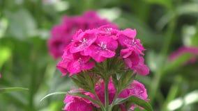 Flower carnation Turkish (Dianthus barbatus). Flower carnation Turkish (Dianthus barbatus) blossoms in spring morning stock footage