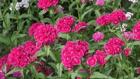 Flower carnation Turkish (Dianthus barbatus). stock video footage