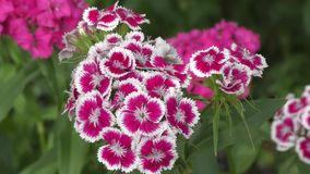 Flower carnation Turkish Dianthus barbatus stock video footage