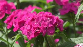 Flower carnation Turkish Dianthus barbatus stock video
