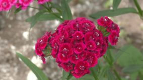 Flower carnation Turkish Dianthus barbatus. stock video