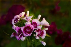 Flower carnation Turkish. Some blooming Turkish colorful carnations on the blurred background of green leaves, Inflorescence of small carnations growing in the stock photo
