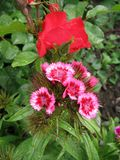 Flower carnation Turkish, Dianthus barbatus, Some blooming Turkish colorful carnations on the blurred background of. Flower carnation Turkish, Some blooming Stock Photo