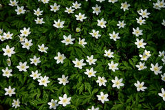 Flower Carpet. Group of wood anemones stock image