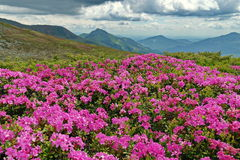 Spring landscape. Flowers carpet with Rhododendron bloomed at high altitude - Rodnei Mountains, landmark attraction in Romania Stock Image
