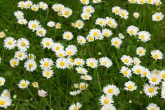 Flower carpet (background) Stock Image