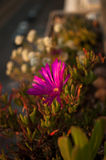 Flower Carpobrotus edulis Royalty Free Stock Images