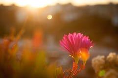 Flower Carpobrotus edulis Royalty Free Stock Photography