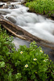 Flower with Cascade. Fresh spring flowers along an alpine stream cascading in the colorado rockies Stock Photography