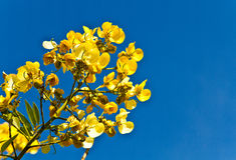 Flower of cassia fistula tree Royalty Free Stock Photos