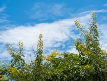 Flower of Cassia Tree with blue sky background Royalty Free Stock Image
