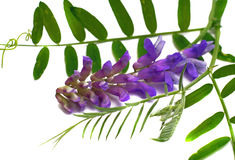 Flower cat pea (Vicia cracca) with leaves isolated Royalty Free Stock Images