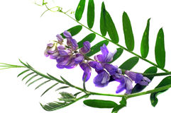 Flower cat pea (Vicia cracca) with leaves isolated Stock Photo