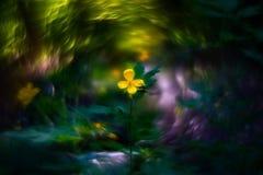 flower celandine and bokeh Stock Photography
