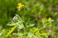 Flower of celandine Royalty Free Stock Photography