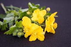 Flower celandine Royalty Free Stock Image