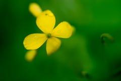 Flower celandine. Royalty Free Stock Photos