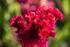 Flower Celosia cristata Stock Photos