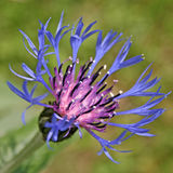 Flower of Centaurea montana Royalty Free Stock Photos