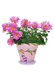 Flower in ceramic pot Royalty Free Stock Image