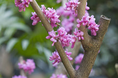 Flower of Cercis chinensis Royalty Free Stock Photo
