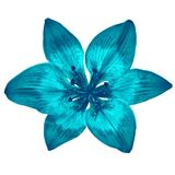 Flower cerulean cyan lily isolated on white background. Close-up. Element of design stock images