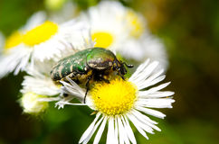 Flower chafer Royalty Free Stock Images