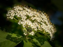 Flower chafer on the blossoms of a mealy tree. A flower chafer Cetonia aurata on a mealy tree Viburnum lantana stock photo