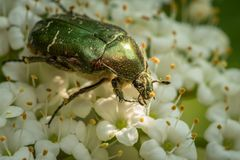 A flower chafer feeding on white blossoms royalty free stock image