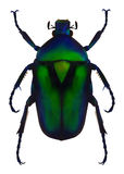 Flower chafer. An illustration of a green metallic beetle (Rhomborrhina resplendens). Contains gradient meshes royalty free illustration