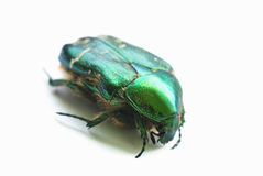 Flower chafer isolated Royalty Free Stock Photo