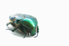 Flower chafer isolated on white Royalty Free Stock Photo