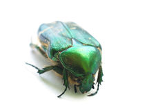 Flower chafer isolated on white Royalty Free Stock Image