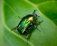 The Flower Chafer on a leaf. The Flower Chafer has the most beautiful colour with an almost iridescent quality Stock Images