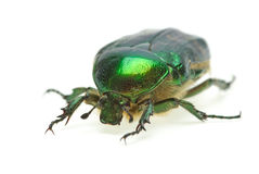Flower chafer (rose chafer, Cetonia aurata) Stock Photo