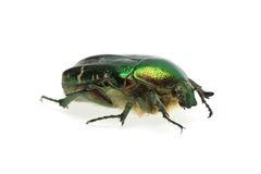 Flower chafer (rose chafer, Cetonia aurata) beetle Stock Photos