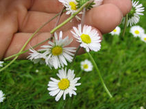 Flower chain of daisies Stock Images