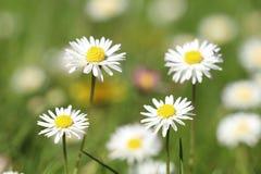 Flower, Chamaemelum Nobile, Daisy Family, Daisy Stock Photos