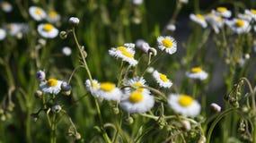 Flower, Chamaemelum Nobile, Flora, Plant stock photos
