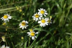 Flower, Chamaemelum Nobile, Flora, Plant royalty free stock photo