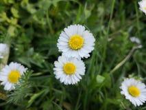 Flower, Chamaemelum Nobile, Plant, Flora royalty free stock photography