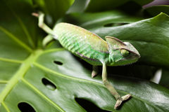 Flower on chameleon, bright vivid exotic climate stock photos